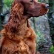 Jagger, cane muore avvelenato. Era arrivato secondo al Crufts 2015 in Belgio