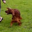 Jagger, cane muore avvelenato. Era arrivato secondo al Crufts 2015 in Belgio 01