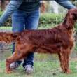 Jagger, cane muore avvelenato. Era arrivato secondo al Crufts 2015 in Belgio 02