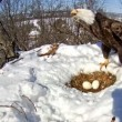 Mamma aquila protegge le sue uova dalla neve scaldandole (4)