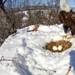Mamma aquila protegge le sue uova dalla neve scaldandole (5)