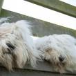 Sophie e Sarah, i due cani inseparabili che amano fare tutto insieme04