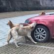 """Cane cacciato dal parcheggio torna con gli """"amici"""" e prende a morsi l'auto FOTO 4"""