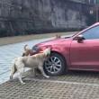 """Cane cacciato dal parcheggio torna con gli """"amici"""" e prende a morsi l'auto FOTO 3"""