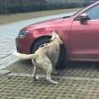 """Cane cacciato dal parcheggio torna con gli """"amici"""" e prende a morsi l'auto FOTO"""
