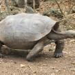 Galapagos, le tartarughe sono tornate: dopo 100 anni avvistate le prime 10 02