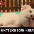 VIDEO YouTube - Cucciolo di leone bianco allo Zoo Beto Carrero in Brasile6