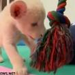 VIDEO YouTube - Cucciolo di leone bianco allo Zoo Beto Carrero in Brasile4