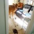 Gb, mucche entrano in casa e fanno cacca dappertutto02