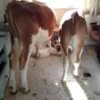 Gb, mucche entrano in casa e fanno cacca dappertutto03
