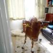 Gb, mucche entrano in casa e fanno cacca dappertutto04