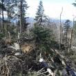 Vallombrosa, maltempo fa strage di alberi di Natale01