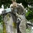 varano australiano divora coniglio 03