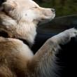 Cani in auto al finestrino: i musi e le espressioni più buffe FOTO 6