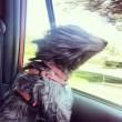 Cani in auto al finestrino: i musi e le espressioni più buffe FOTO 5