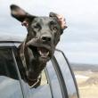 Cani in auto al finestrino: i musi e le espressioni più buffe FOTO