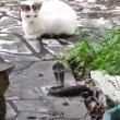 VIDEO YouTube: cobra in giardino, gatto decide di affrontarlo 01