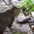 VIDEO YouTube: cobra in giardino, gatto decide di affrontarlo 03