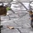 VIDEO YouTube: cobra in giardino, gatto decide di affrontarlo 05