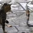 VIDEO YouTube: cobra in giardino, gatto decide di affrontarlo 06