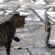 VIDEO YouTube: cobra in giardino, gatto decide di affrontarlo 07