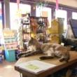 Andre, gatto obeso da 12 chili è la mascotte del negozio