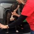 Libby, pittbull salvata dalla morte diventa cane-poliziotto03