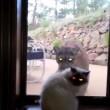 Video YouTube: il puma vuole entrare in casa, il gatto lo caccia 03