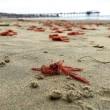 VIDEO YouTube, FOTO - Spiaggia di San Diego invasa dai granchi rossi 6