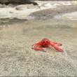 VIDEO YouTube, FOTO - Spiaggia di San Diego invasa dai granchi rossi 4