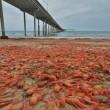 VIDEO YouTube, FOTO - Spiaggia di San Diego invasa dai granchi rossi 3