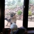 Video YouTube: il puma vuole entrare in casa, il gatto lo caccia 01