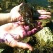 California, invasione di lumaconi di mare: innocui, arrivano col caldo FOTO