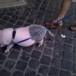 Roma, maialino vietnamita a spasso per via Cola di Rienzo 04