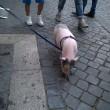Roma, maialino vietnamita a spasso per via Cola di Rienzo 0103