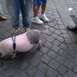 Roma, maialino vietnamita a spasso per via Cola di Rienzo 02
