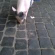 Roma, maialino vietnamita a spasso per via Cola di Rienzo 01