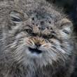 Gatto Manul vive in Asia: muso schiacciato gli fa fare queste facce