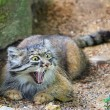 Gatto Manul vive in Asia: muso schiacciato gli fa fare queste facce 10