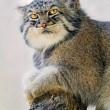 Gatto Manul vive in Asia: muso schiacciato gli fa fare queste facce 11