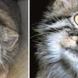 Gatto Manul vive in Asia: muso schiacciato gli fa fare queste facce 12