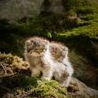Gatto Manul vive in Asia: muso schiacciato gli fa fare queste facce 02
