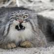 Gatto Manul vive in Asia: muso schiacciato gli fa fare queste facce 03