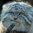 Gatto Manul vive in Asia: muso schiacciato gli fa fare queste facce 04