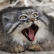 Gatto Manul vive in Asia: muso schiacciato gli fa fare queste facce 05
