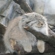 Gatto Manul vive in Asia: muso schiacciato gli fa fare queste facce 06