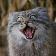 Gatto Manul vive in Asia: muso schiacciato gli fa fare queste facce 07