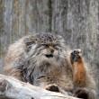 Gatto Manul vive in Asia: muso schiacciato gli fa fare queste facce 08