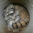Gatto Manul vive in Asia: muso schiacciato gli fa fare queste facce 09