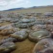 Meduse giganti invadono le spiagge del Regno Unito FOTO 3